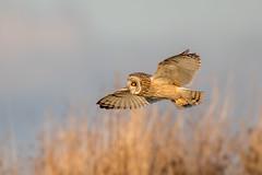 Short Eared Owl (Simon Stobart) Tags: short eared owl asio flammeus flying north east england uk ngc