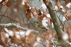 Sommergoldhähnchen / Firecrest / Regulus ignicapilla (Macke827) Tags: sommergoldhähnchen firecrest regulus ignicapilla natur nature vogel bird oiseaux animal wildlife tier fauna