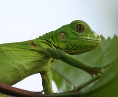 Young iguana in our garden (h.nijssen5 IN SURINAME NOW) Tags: leguaan iguana animal nature suriname southamerica green verde lovely beautiful
