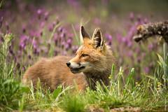 Red Fox (Mary Bassani) Tags: redfox fox volpe vulpes zorro spain lavanda mammal mammiferi wildlifephotographer wildlife wild animalplanet animallovers animal canonphotographer canonwildlifephotographer canon ngc naturewildlife nature