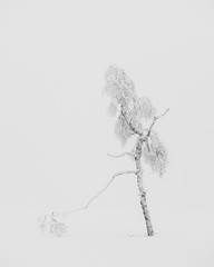 Revisiting the Walking Tree in Winter (Pascal Riemann) Tags: schnee deutschland baum pflanze kahlerasten nebel sauerland birke minimalistisch sw natur winterberg germany nature schwarzweis snow bw blackandwhite einfarbig minimalistic monochrome plant