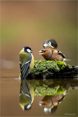 You have to go ! (Gertj123) Tags: birds bokeh netherlands animal avian arjantroost hide holterberg water wildlife reflection fighting canon winter