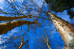 Trees in the sky. Sun peaks, Canada (Veselina Dimitrova) Tags: canon forest outdoor greatphotographers pictureoftheday picoftheday photooftheday nationalgeographic bestoftheday clouds blue clickcamera clickthecamera canada britishcolumbia sky trees