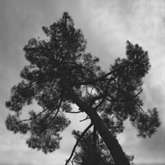 Tree tops (lebre.jaime) Tags: portugal beira covilhã jardimbotânicodemontanha tree treetop analogic film film120 hasselblad 500cm distagon cf3560 epson v600 affinity affinityphoto mf mediumformat squareformat ilford fp4 iso125 bw blackwhite pretobranco pb noiretblanc ptbw