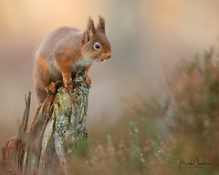 Red Squirrel (coopsphotomad) Tags: squirrel redsquirrel red mammal animal nature wildlife native wild woodland branch forrest heather outdoor canon bokeh blur