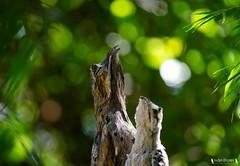 Nyctibius griseus (Ivo Eroles - El Druida) Tags: bird birds birdwatching birdwatch birding urutau potoo ave aves avesargentinas naturaleza nature wildlife