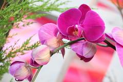 096. Orchid (Misty Garrick) Tags: arboretum universityofminnesotalandscapearboretum landscapearboretum flowershow