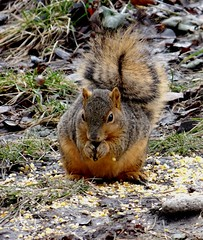 Sunday squirrel (EcoSnake) Tags: squirrels easternfoxsquirrel winter sunday eating wildlife idahofishandgame naturecenter