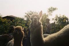 Khaoyai, tryto (kriksome) Tags: film camera canon cano canonet fujic100 khaoyai korat thailand natural cafe primopiazza sunray silhouette alpaca sheep farm
