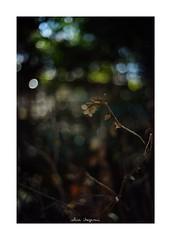 2019/1/26 - 8/15 photo by shin ikegami. - SONY ILCE‑7M2 / Voigtlander NOKTON CLASSIC 40mm f1.4 SC VM (shin ikegami) Tags: asia sony ilce7m2 sonyilce7m2 s7ii 40mm voigtlander nokton nokton40mmf14sc tokyo photo photographer 単焦点 iso800 ndfilter light shadow 自然 nature 玉ボケ bokeh depthoffield naturephotography art photography japan earth