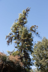 IMG_1329 (jaglazier) Tags: 122018 2018 cerrosantalucia chile december deciduoustrees santalucia santiago trees urbanism cities copyright2018jamesaglazier gardens parks