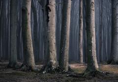Buchenwald (Petra Runge) Tags: nebel mist fog buchen beeches wald woodland forest gespensterwaldnienhagen