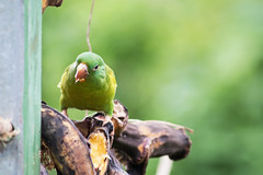 Snack Time D7C_8736 (iloleo) Tags: bird dof nature wildlife green parrot costarica nikon d750 animalplanet