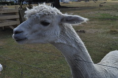 ALPACAS - Alpaga Nouvelle Zelande 2019 (2) (hube.marc) Tags: alpacas alpaga nouvelle zelande 2019 vicugna pacos