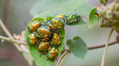 Insetos (Rogerio1958) Tags: insetos insetosdobrasil bug maybug nikon d3100 70300mm fauna insects