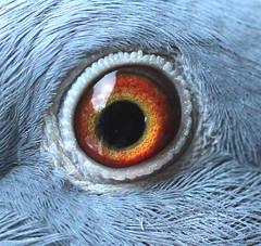Eye - eyE   Palindrome.   Flickr Friday. (the.haggishunter) Tags: bird pigeon macro eye palindrome flickrfriday