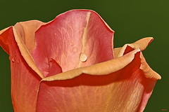 A rosa (Zéza Lemos) Tags: rosas rose rosa roseira roseiras jardim jardineiro jardins algarve água gotas drops drop flores flor flowers portugal vilamoura