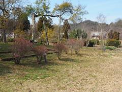 Korean rhododendron (Rhododendron mucronulatum var. ciliatum, ゲンカイツツジ) (Greg Peterson in Japan) Tags: shiga japan flowers yasu plants 滋賀県 野洲市 植物 花 近江富士花緑公園 shigaprefecture jpn