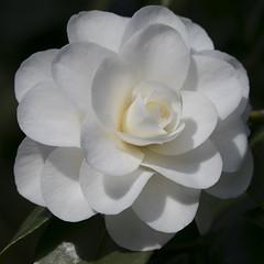 White camellia (dramadiva1) Tags: