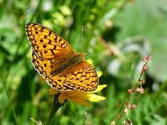 Papillon dans la Combe de la Neuva. (ViveLaMontagne67) Tags: france alpes alpen alps savoie savoy beaufortain combedelaneuva nature macro bokeh papillon fleur flower butterfly 250v10f