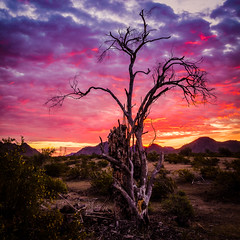 Dead Tree at Sunrise (Ed Cheremet) Tags: arizona buckeyeaz canon60d edcheremet hdr arizonasunset clouds dawn desertsunset flower landscape mesquite mesquitetree mountains tree weathercreosote