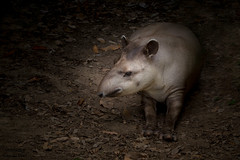 Anta  (Tapirus terrestris)   -   South American tapir (Marcus Vinicius Lameiras) Tags: contatocomoautoratravésdoemailmarquinhos7cordasgmail fotografiadenaturezanaturephoto marcusviniciuslameirasriodejaneirobrasil nãoreproduzaestaimagemsemautorizaçãoexpressadoautor ©allrightsreserved ©todososdireitosreservados ©mavilabrasil contatocomoautoratravésdoemailmarquinhos7cordasgmailcom anta 5315 zoo canon eos 6d 150600mm f563 dg os hsm   contemporary 015 tapirus terrestris mamíferos mammals
