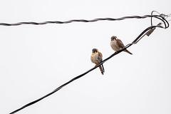 50418 - Couple de Crécerelle d'Amérique - American Kestrel Couple - Crop (xVanHovenx) Tags: ciel sky animal oiseau faucon crécerelle falcon kestrel crécerelledamérique americankestrel oiseauxdeproie birdsofprey sonya7iii sigmamc11 sigma150600mmcontemporary
