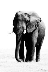 More Photoshop play... (lyn.f) Tags: african elephant loxodontaafricana chobenationalpark botswana mammalswild blackandwhite nikon