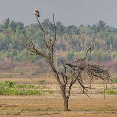 Short-toed Snake Eagle (Mike Prince) Tags: accipitridae aves birds circaetusgallicus india karnataka kiteshawksandeagles madhurekere shorttoedsnakeeagle birdsofprey raptors