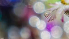 Droplet - 6659 (ΨᗩSᗰIᘉᗴ HᗴᘉS +56 000 000 thx) Tags: macro drop droplet bokeh bokehlicious daisy petal flower flora light belgium europa aaa namuroise look photo friends be yasminehens interest eu fr party greatphotographers lanamuroise flickering