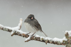 Dark-eyed Junco-40858.jpg (Mully410 * Images) Tags: birdwatching birding blizzard winter backyard junco darkeyedjunco birds snow spring bird birder snowing