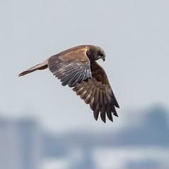 Rainham 03.01.19 Marsh Harrier_