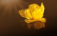 Reflections 1 (Elisafox22) Tags: elisafox22 sony ilca77m2 100mmf28 macro macrolens telemacro lens yellow tulip colours table tabletop water light bokeh indoors elisaliddell©2019