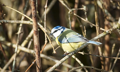 Blue Tit (Donna Joyce) Tags: bluetit bird wildlife kent uk