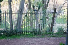 Rome Parakeets