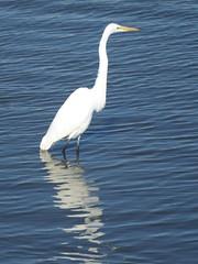 White Heron (Flickred!) Tags: heron bird monterey