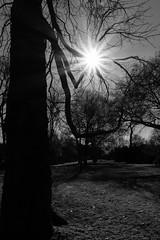 Branches carrying the sun (frankdorgathen) Tags: monochrome blackandwhite schwarzweiss schwarzweis nature natur ruhrpott ruhrgebiet mülheimanderruhr alpha6000 sony1018mm sonnenstern sunstar sonne sun gegenlicht backlight silhouette baum tree