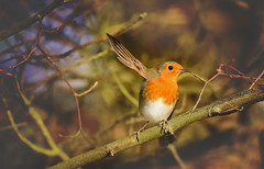 """Hey""... (KissThePixel) Tags: robin robinredbreast redrobin bird birdwatching britishbird wildbritain wildlife wildlifephotography wildbird longacremanor garden woodland meadow february nature naturephotography beautiful beautifulday nikon tamron tamron150600mm 150600mm nikond750"