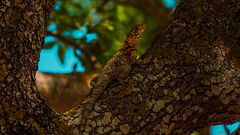 Lizzard (Rawtalents.se) Tags: lizzard komodo dragon ödla gecko salamander lizard lagarto σαύρα sávra ящерица yashcheritsa 蜥蜴 xīyì firben