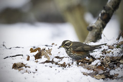 Redwing in Snow (Rob Blight) Tags: redwing redwings wild wildlife bird birds fauna nature animal animals snow winter britain britishwildlife d850 nikond850 500mm nikon500mm 500mmpf 500pf pf digging forest forestscene forestfloor