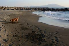 Spade Work 1 (Bob Hawley) Tags: asia taiwan kaohsiung ziguantownship seaside coast taiwantugou formosanmountaindogs pets dogs playing sand nikond7100 nikon28105mmf3545afd sea water beaches digging shoushan mountains waves