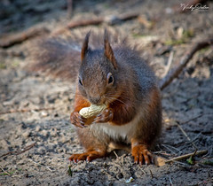 🇬🇧 Red squirrel eating (explored 05/03/19) #33 (vickyouten) Tags: redsquirrel redsquirreleating nature naturephotography wildlife wildlifephotography britishwildlife nikon nikond7200 nikonphotography nikkor55300mm formbybeach formby liverpool uk vickyouten