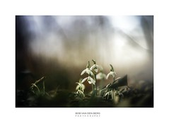 Bells will be ringing... (Zino2009 (bob van den berg)) Tags: snowdrops nature cold winter spring early flower wild outside bunch soft fsde natural colors spotlight sunray sunshine light attention attraction mood awakening wakeup change finally