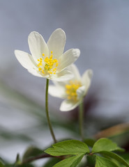 (skloi) Tags: buschwindröschen anemonanemorosa wald frühling spring flower weiss white green