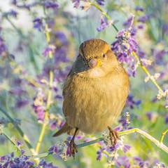 Cute Bushtit. (Omygodtom) Tags: wildlife bushtit bird portrait nikkor zeiss nikon70300mmvrlens d7100 dof bokeh usgs outdoors