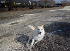 toby137 (Fan-T) Tags: toby husky siberian pomeranian pomsky rootstown dog running playing cute
