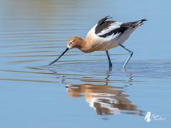 American Avocet (P3183280-20190318) (bechtelsf) Tags: birds american avocet riparian preserve water ranch gilbert az