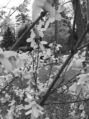 Forsythia in b&w (karma (Karen)) Tags: baltimore maryland neighborhood bushes blossoms forsythia dof bokeh mono bw hmbt iphone