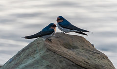 Welcome Swallows at the Seaside (Merrillie) Tags: rock nature australia birds newsouthwales welcomeswallows nsw beach wildlife wild twoofakind outdoors animals fauna swallows avocabeach seaside