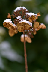 Hydrangea in Winter (pstenzel71) Tags: blumen natur pflanzen winter hydrangea hortensie snow schnee darktable bokeh